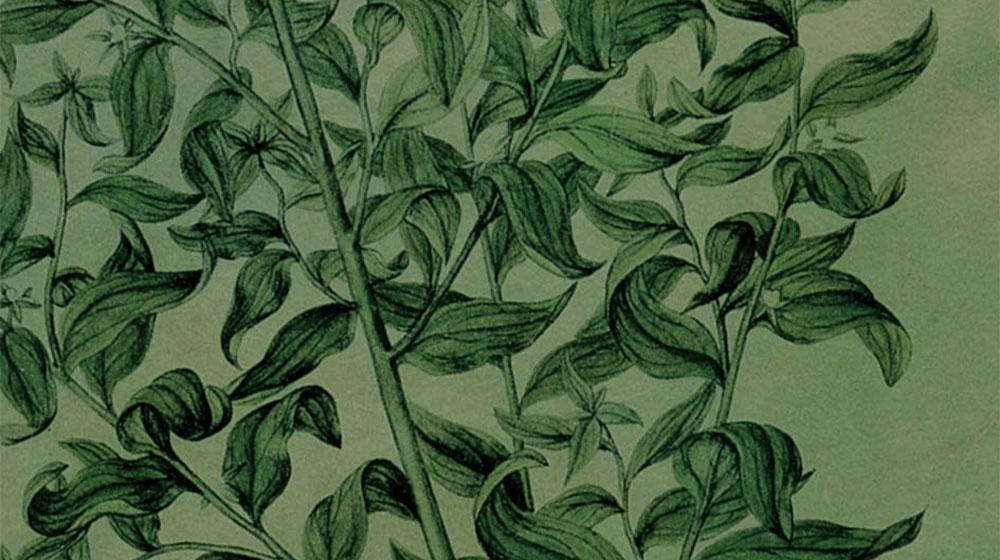Book cover image:  Estudio de planta (1580-1600), de Jacopo Ligozzi